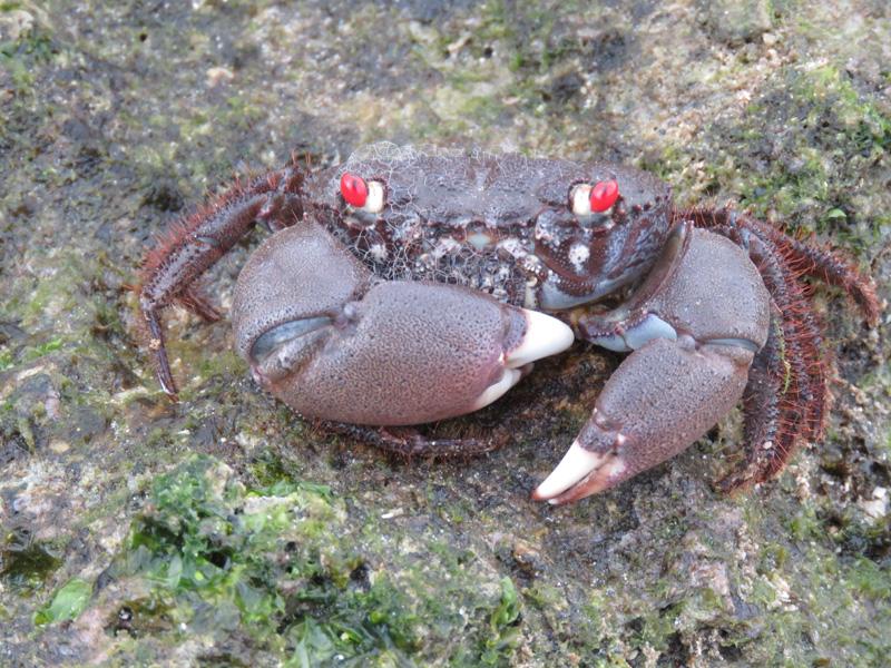 赤い目をした蟹
