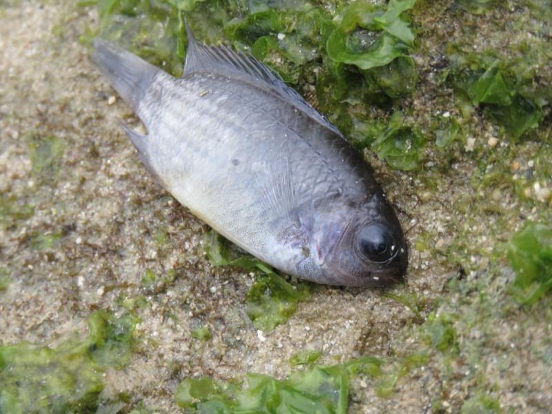 気絶した魚