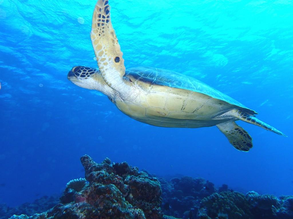 石垣島でマンタやウミガメに会える