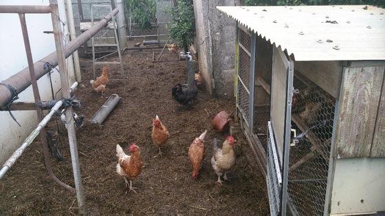 鶏舎・EM菌を飼料